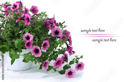 Purple petunia in flowerpot on white background