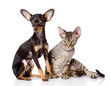 devon rex cat and toy-terrier puppy together. isolated on white