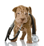 shrpei puppy dog with a stethoscope on his neck. isolated  - 53701844