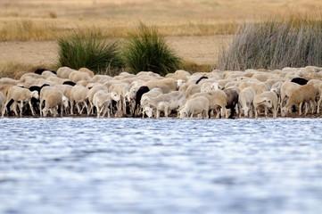 Rebaño de ovejas bebiendo agua