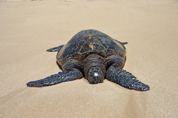 Big turtle in the sand under the sun