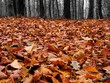 Autumn forest in misty weather with fallen leaves
