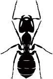Ant isolated silhouette