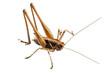 grasshopper with long legs