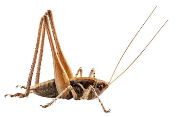 grasshopper with long legs