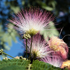Persian silk tree (Albizia julibrissin)
