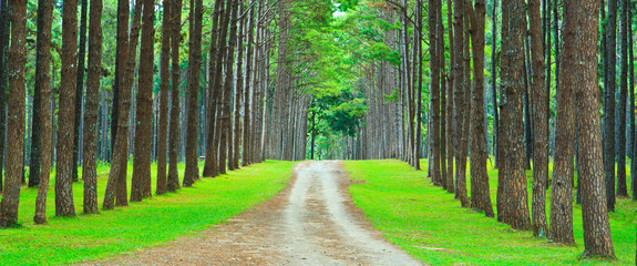 Path into the pine forest