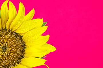 girasole su sfondo rosa