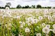 Wiese voller Pusteblumen