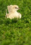 Collared Dove in the grass