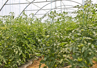 hothouse (tomato)