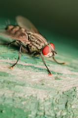 Fly Red Eye Macro