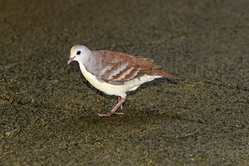 Cinnamon ground-dove, Gallicolumba rufigula