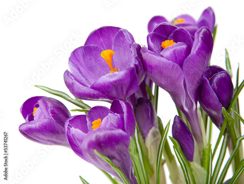 Foto op Canvas Krokussen Purple crocus with a white background