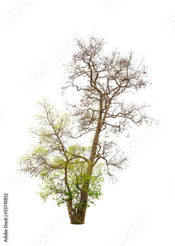 Old and dying tree isolated on white background