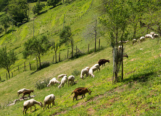 Goats on hillside - rural agriculture scene