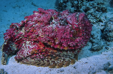 SUDAN, Red Sea, Stonefish