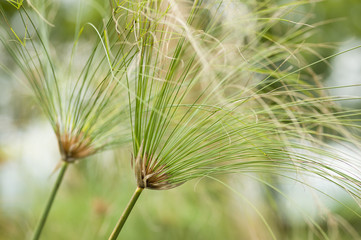 Paper reed plant