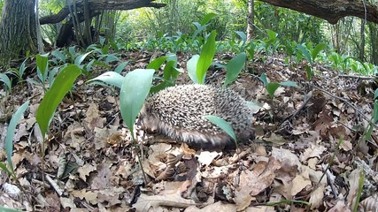 The common hedgehog. Il riccio comune