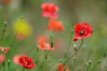 Red Corn Poppy or Papaver rhoeas