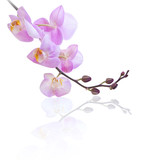 Orchid on white background. Phalaenopsis.