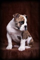 englische Bulldogge auf braun