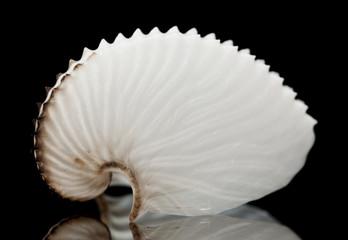 Argonauts, or paper nautilus shell