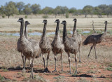 Binds Emus in the far west of New South Wales Australia