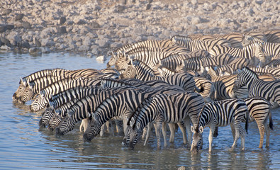 Zebra at a waterhole.