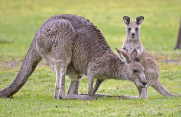 eastern grey kangaroos with joey