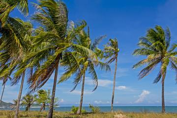 tree coconut and sky