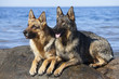 wet German shepherds