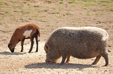 Pig and goat.