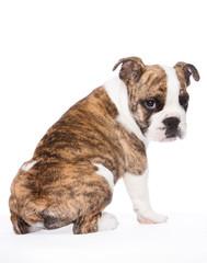 englische Bulldogge von hinten