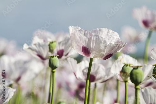 Opium poppy, Papaver somniferum - 53767876