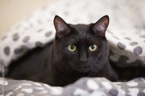 Lazy big black cat laying on bed