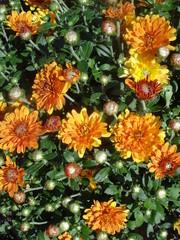Orange chrysanthemum multiflora