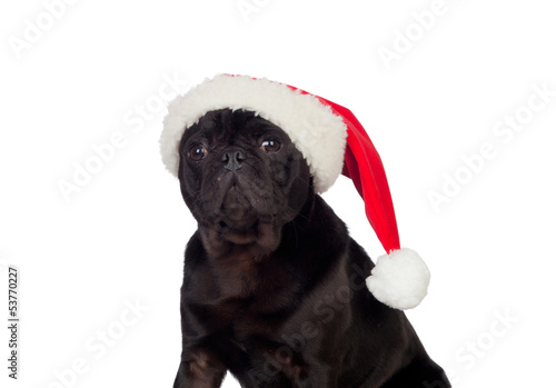 Nice pug carlino dog with Christmas hat