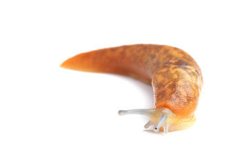 Slug isolated on white