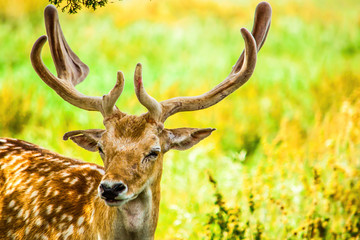 An isolated fallow deer