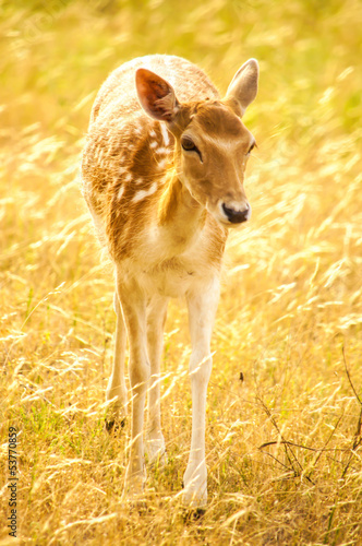 An isolated fallow deer in sunset,