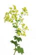 Leinwandbild Motiv Frauenmantel (Alchemilla xanthochlora)  - Blüte und Blätter