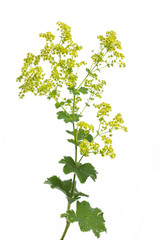 Frauenmantel (Alchemilla xanthochlora)  - Blüte und Blätter