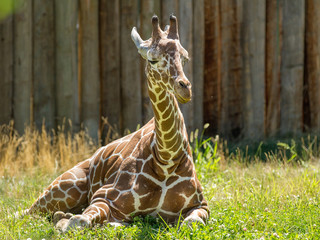 Cute young giraffe laying down