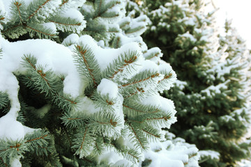 Spruce tree with fresh snow outside