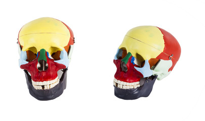 anatomical model of a human skull  isolated on white background