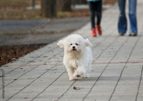 Cute running Bichon Havanese dog