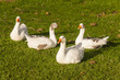flock of domestic geese resting on fresh grass