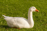 domestic goose resting on fresh grass