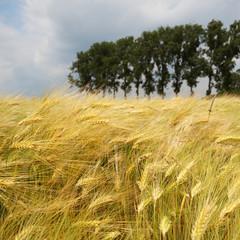 Gerstenfeld im Wind